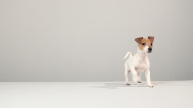jack russell terrier - jack russell terrier stock videos & royalty-free footage