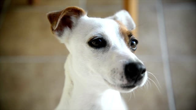 jack russell terrier - looking at camera stock videos & royalty-free footage