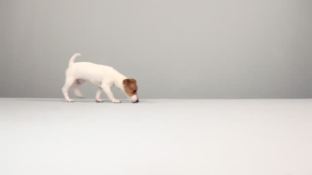 jack russell terrier walking - studio shot stock videos & royalty-free footage