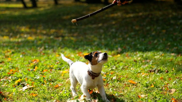 vidéos et rushes de hd: chien jack russell - terrier jack russell