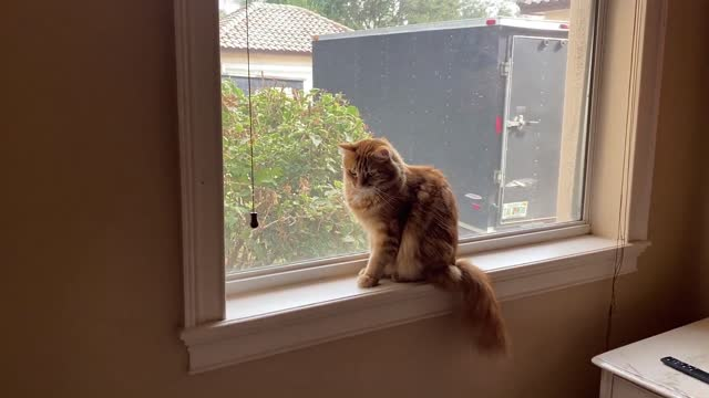 vídeos de stock e filmes b-roll de jack the cat has made an wonderful new discovery for his personal hygiene. the cord for the blinds is amazing for flossing his teeth and whiskers and... - raça pura