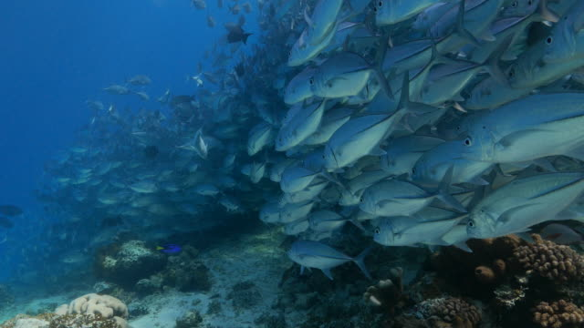 Jack-Stachelmakrele Fisch Mauer stand Unterwasser (4K)