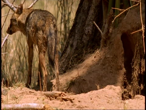 ms jackal and pups coming out of den, bandhavgarh national park, india - national icon stock videos & royalty-free footage