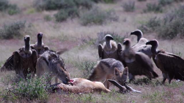Jackal feeding on a springbok