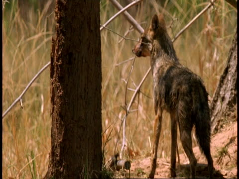 ms jackal looking around cautiously around den, pups huddled together, bandhavgarh national park, india - national icon stock videos & royalty-free footage