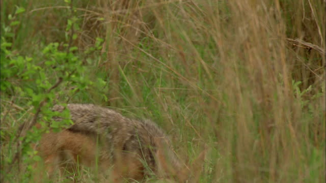 a jackal looks up alertly as it stands in long grass. available in hd. - squiggle stock videos & royalty-free footage