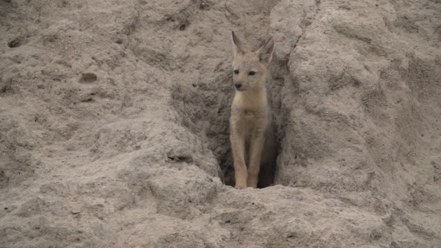jackal pup emerges from burrow and looks out for danger, kruger national park, south africa - mpumalanga province stock videos and b-roll footage