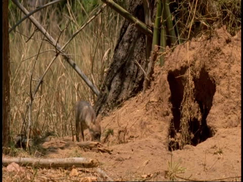 ms jackal pup goes into den, bandhavgarh national park, india - national icon stock videos & royalty-free footage