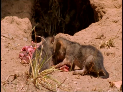 cu jackal pups eating meat outside den, bandhavgarh national park, india - piccolo gruppo di animali video stock e b–roll