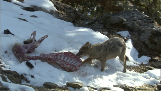 jackal scavenges goat carcass in snow, chopta available in hd. - animal bone stock videos & royalty-free footage