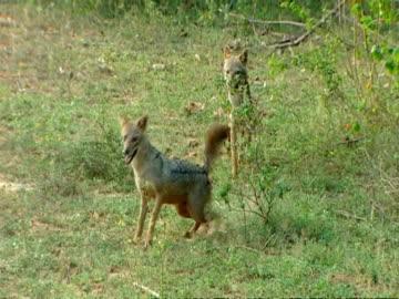 wa 1 jackal scent marks a bush and runs off, 2nd jackal copies - harnapparat stock-videos und b-roll-filmmaterial