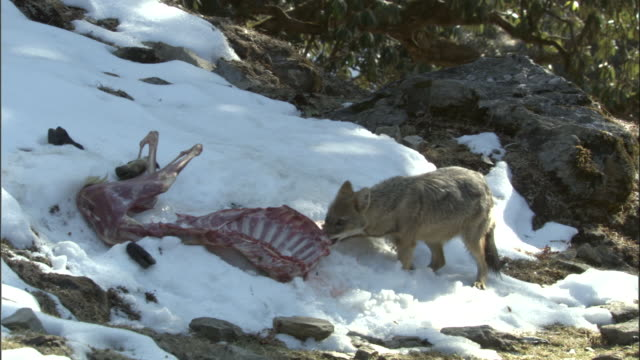 jackal tugs at goat carcass in snow, chopta available in hd. - apparato digerente animale video stock e b–roll