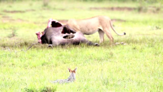 ジャッカル-ウェイティングをフィーディング - 死んでいる動物点の映像素材/bロール