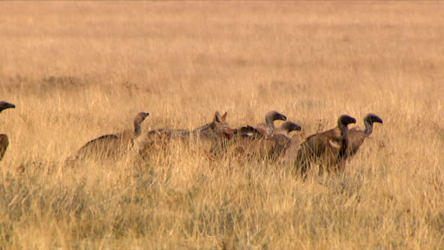 A jackal waits between a group of vultures/ Etosha National Park/ South Africa