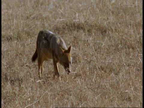 ms jackal walking through grassland, bandhavgarh national park, india - national icon stock videos & royalty-free footage