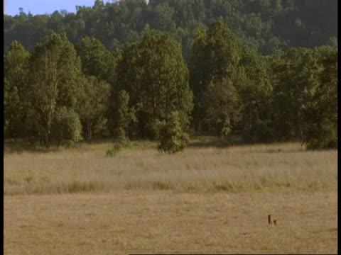wa jackal walking through grassland, bandhavgarh national park, india - national icon stock videos & royalty-free footage