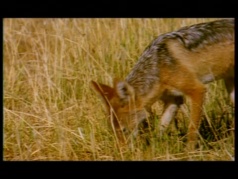 cu jackal walking through grassland, botswana - smelling stock videos & royalty-free footage