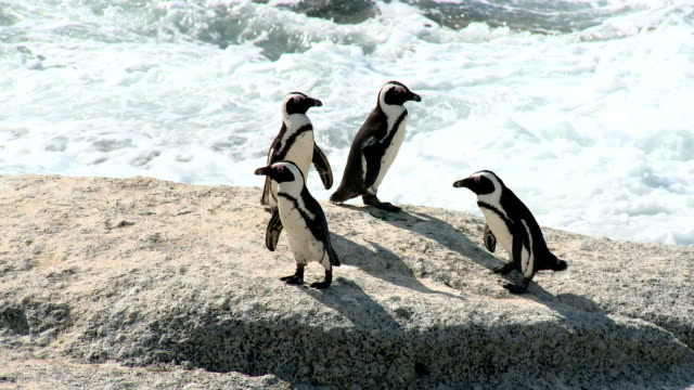 ls jackass penguins on boulder beach, cape town, south africa - boulder beach western cape province stock videos and b-roll footage