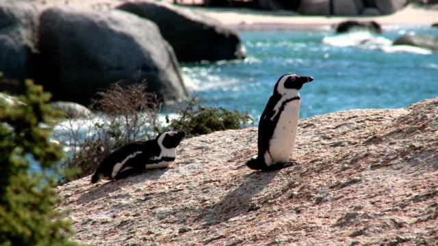 vídeos de stock, filmes e b-roll de ls jackass penguins on boulder beach, cape town, south africa - boulder city