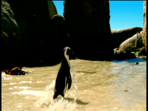 jackass penguins playing on sandy beach amongst boulders simon's town - boulder beach western cape province stock videos and b-roll footage