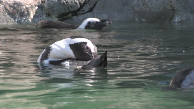 jackass penguins swimming 1 - hd 30f - medium group of animals stock videos & royalty-free footage