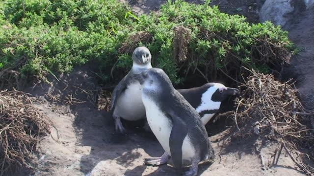 アフリカンペンギン(speniscus demersus - 鳥の巣点の映像素材/bロール
