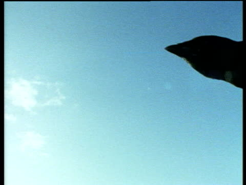 Jackdaw flies against blue sky silhouetted by sun's glare in background