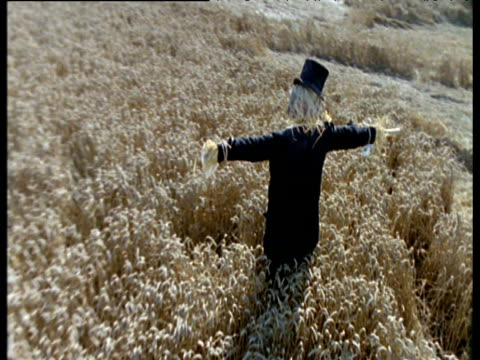 Jackdaw flies and lands on scarecrow in cornfield