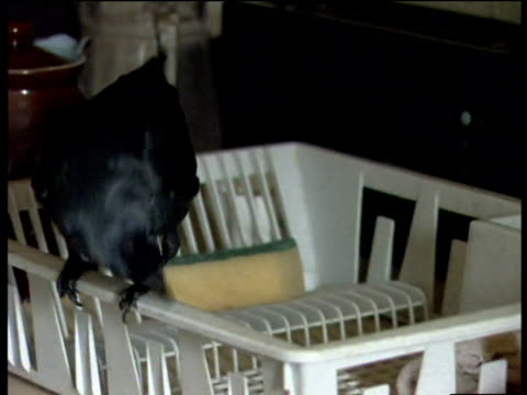 Jackdaw jumping around on plastic dishes drainer before settling and preening its feathers UK
