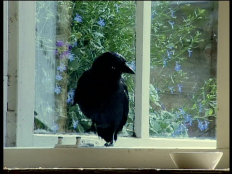 Jackdaw perched on kitchen window sill UK