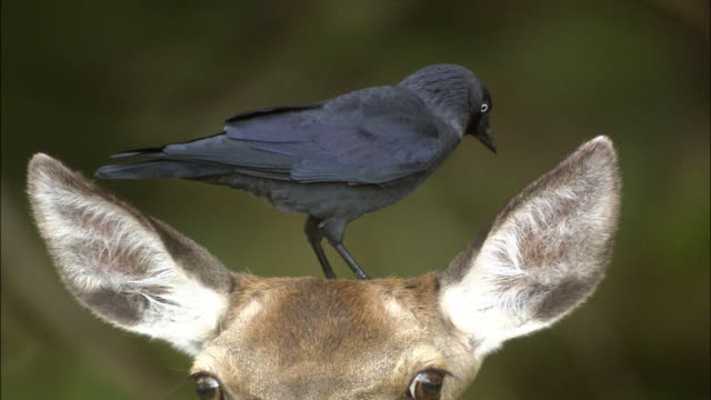 Jackdaw (Corvus monedula) plucks fur from red deer (Cervus elaphus), Richmond Park, London, UK