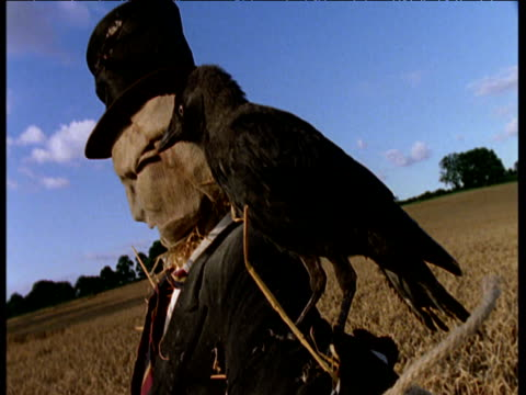 Jackdaw sitting on scarecrow's arm, then flies off