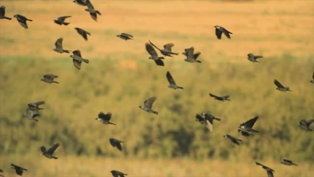 Jackdaws  (Corvus monedula) in the field