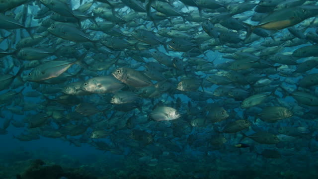 jackfish schooling under sea surface, bali, indonesia (4k) - jack fish stock videos and b-roll footage