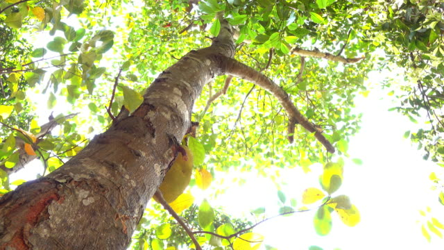jackfruit tree, nature scene