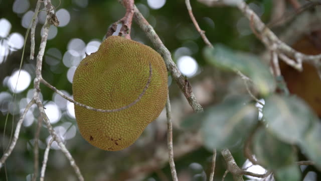 jackfruit tree - branch plant part stock videos and b-roll footage