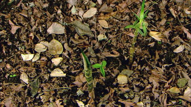 vídeos de stock e filmes b-roll de jack-in-the-pulpit germinating and growing - germinação