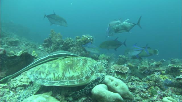 jacks and green turtle (chelonia mydas) and remora, kapalai, sipadan, borneo - green turtle stock videos & royalty-free footage