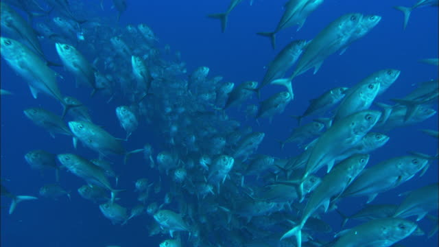 jacks, costa rica, pacific ocean  - school of fish stock videos & royalty-free footage