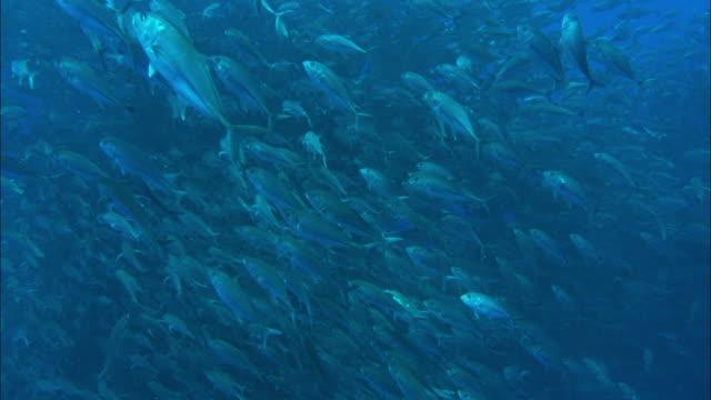 jacks, huge group, costa rica, pacific ocean  - school of fish stock videos & royalty-free footage