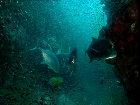vídeos y material grabado en eventos de stock de jacks in cave suddenly attack and panic shoal of glassfish, phuket - mar de andamán