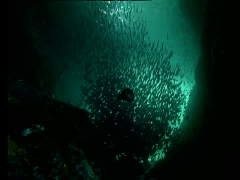 jacks swim around a bait ball in an underwater grotto off the coast of poor knights island in new zealand. - grotto cave stock videos and b-roll footage