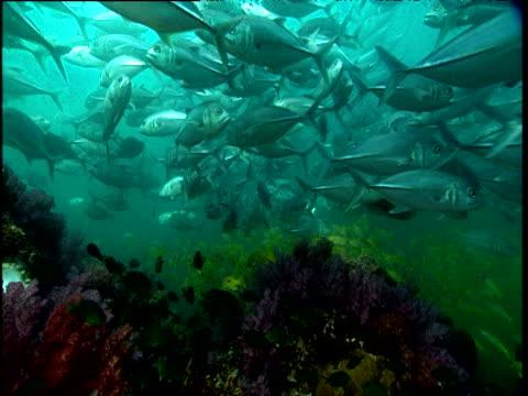 jacks swim over colourful coral, phuket - invertebrate stock videos & royalty-free footage