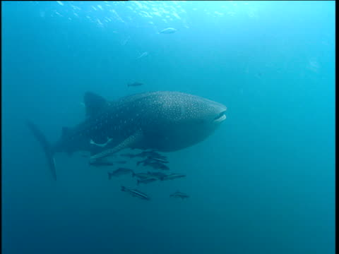 jacks swim past, whale shark swims with shoal of cobia (rachycentron canadum), phuket - 通過する点の映像素材/bロール