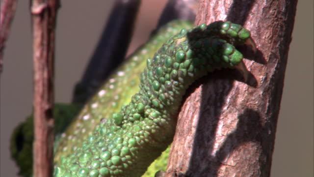 "vidéos et rushes de jackson's chameleon (trioceros jacksonii) clings to branch, hawaii - ""bbc natural history"""