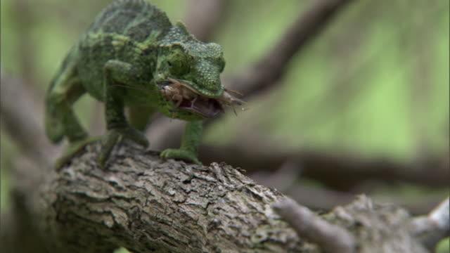 jackson's chameleon (trioceros jacksonii) eats cricket, hawaii - pulling funny faces stock videos & royalty-free footage