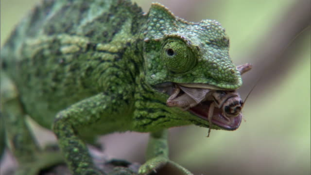 Jackson's chameleon (Trioceros jacksonii) eats cricket, Hawaii