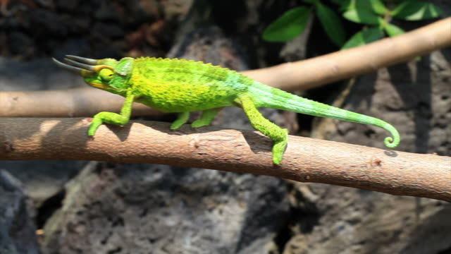 jackson's chameleon in hawaii hd - animal body part stock videos & royalty-free footage