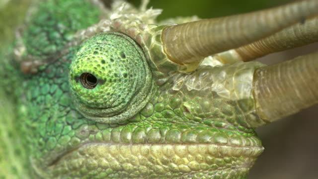 vidéos et rushes de le caméléon de jackson-(trioceros jacksonii) - caméléon