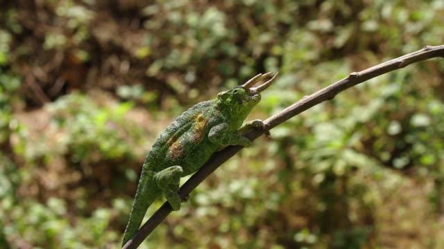 vídeos y material grabado en eventos de stock de jackson's horned chameleon 1 - audio disponible